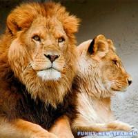 Чего ожидать Львам в год Желтой земляной свиньи в декабре 2019
